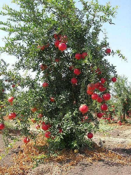 pomegranate for tree mature sale