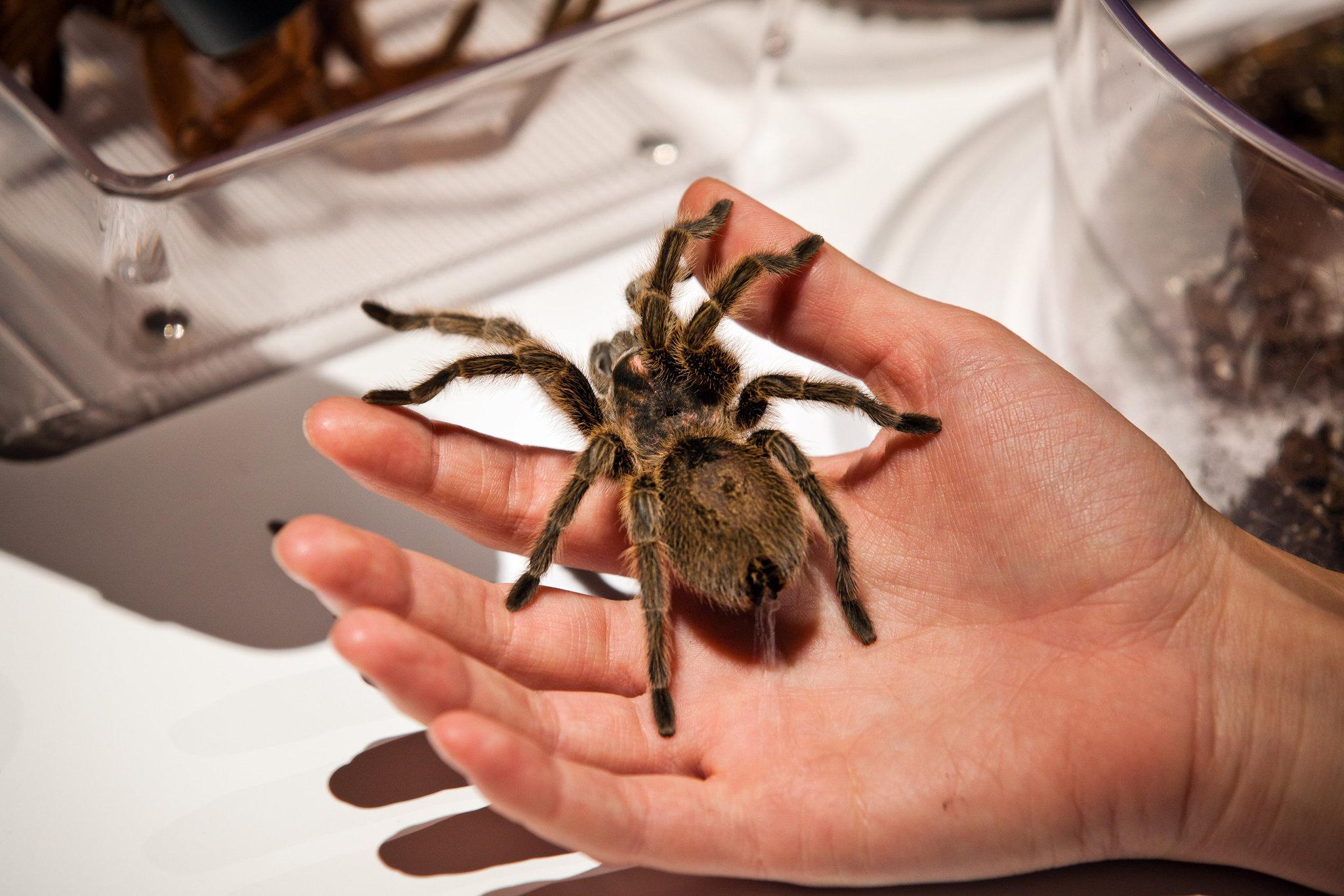 venom spiders america south hairy